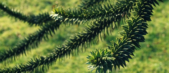 Araucaria araucana aka The Monkey Puzzle Tree, Monkey Tail Tree, Chilean Pine or Pehuén