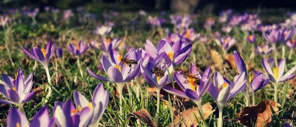 Bees exploring Crocuses in Farmyard