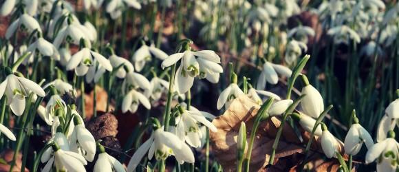 Galanthus Nivalis Blooming in Duinbos