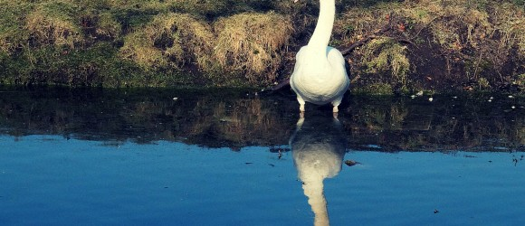 Mute Swan in Duinbos