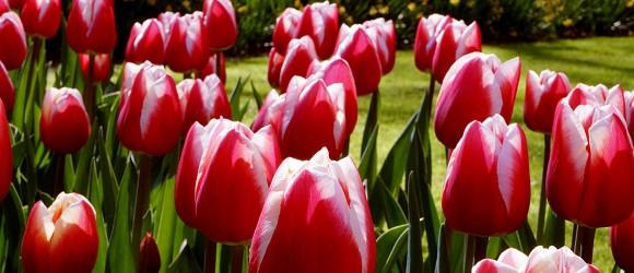 Red and White Tulips in Keukenhof