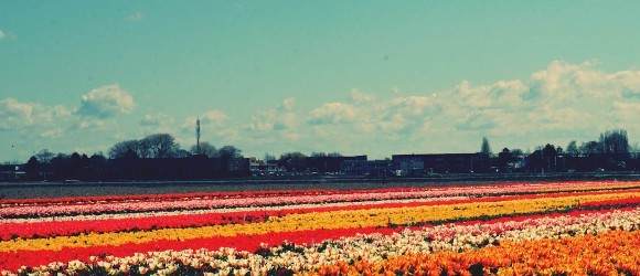 The famous Keukenhof flower fields