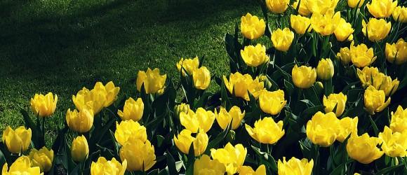 Yellow Tulips in Keukenhof