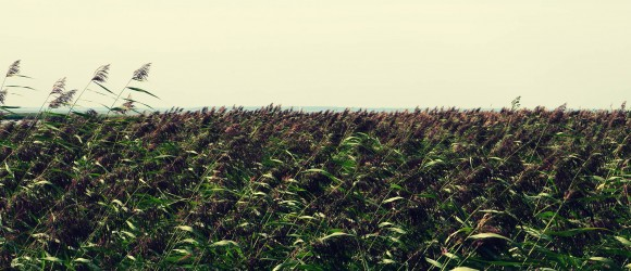 Haapsalu A Bed Of Reeds